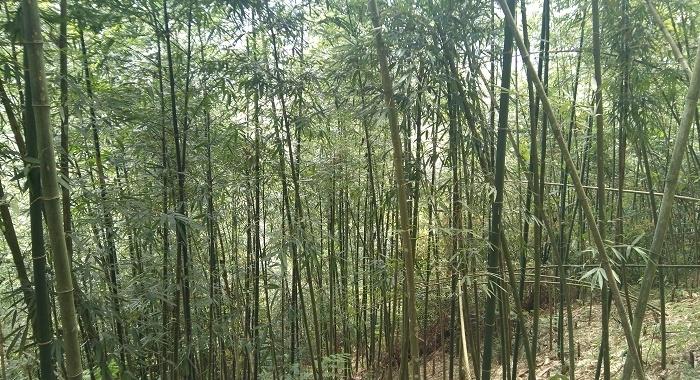Sapa_bosque de bambú