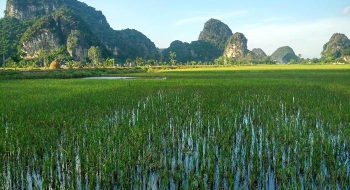Tam Coc_Entre arrozales