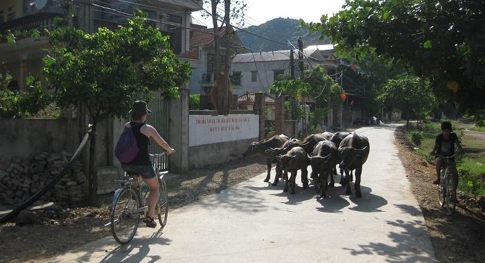 Tam Coc_intrusos en el camino de los búfalos